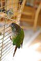 Pyrrhura molinae -bird cage-6a.jpg