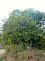Pyrus spinosa 000191649O.jpg