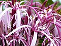 Queen of the Nile Lily. Maui James Brennan Hawaii - panoramio.jpg