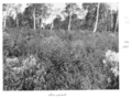 Queensland State Archives 4491 Groundsel infestation c 1950.png