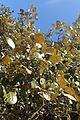 Quercus alnifolia 13.jpg