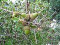 Quercus coccifera Valencia.jpg