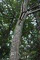 Quercus coccinea (24108082731).jpg