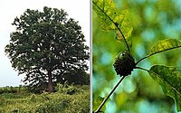 Quercus lyrata (TVA)