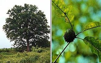 Quercus lyrata - Image: Quercus lyrata (TVA)