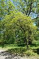 Quercus prinoides - Arnold Arboretum - DSC06955.JPG