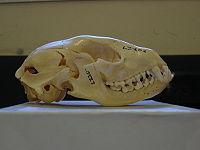 Raccoon skull Pengo.jpg