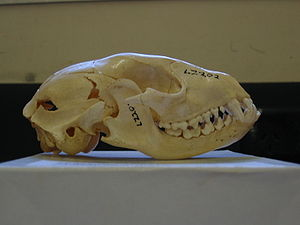 Raccoon - Skull with dentition: 2/2 molars, 4/4 premolars, 1/1 canines, 3/3 incisors