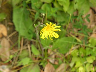 Radyr - Radyr hawkweed
