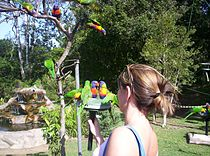 Rainbow Lorikeet -feeding time -Lone Pine Koala Sanctuary-2005.JPG