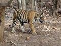 Ranthambore Tiger.jpg