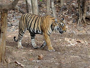 300px Ranthambore Tiger Royal Bengal Tiger and the current ban on tourism