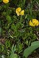 Ranunculus eschscholtzii 6247.JPG