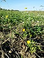 Ranunculus sardous subsp. sardous sl36.jpg