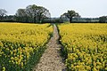 Rape Field New House Lane - geograph.org.uk - 403273.jpg