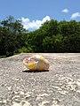 Rare Tree Snail Shell - panoramio.jpg