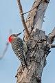 Red-bellied Woodpecker -83 100- (38141006786).jpg