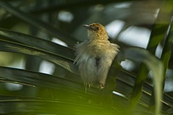 Red-faced Cisticola - Ghana S4E2834 (17320720355).jpg