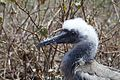 Red-footed booby juvenile FWS 16697.jpg