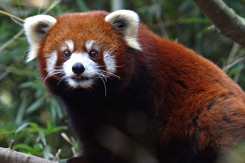 Image:Red Panda - Nashville Zoo.jpg