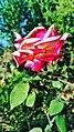 Red Rose 2018 9.jpg