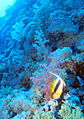 Red Sea Bannerfish cruising the reef around 30m depth at Daedalus Reef, Red Sea, Egypt (6150328689).jpg