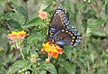 Red Spotted Purple (20669514221).jpg