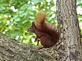 Red Squirrel in Tree Top.jpg