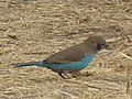 Red cheeked cordon bleu in Tanzania 3054 cropped Nevit.jpg