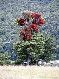 Red Mistletoe New Zealand