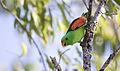 Red shouldered parrot 3 (14989653981).jpg