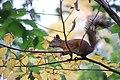 Red squirrel (Sciurus vulgaris). Siverskiy.jpg