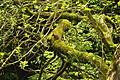 Red squirrel in Snaizeholme (7079).jpg