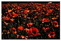 Red weed 2 (19360553020).jpg