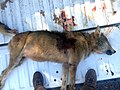 Red wolf found shot Nov 18 2013 (10961117113).jpg