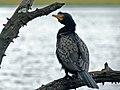 Reed Cormorant (Phalacrocorax africanus) (6889108942).jpg