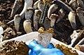 Remplissage de cornes de vache avec de la bouse.jpg
