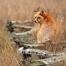 Sites de rencontre de renard argenté