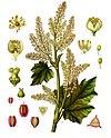 Rheum officinale - Köhler–s Medizinal-Pflanzen-256.jpg