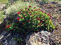 Rhodiola integrifolia? (19212871670).jpg