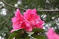 Rhododendron Anna Rose Whitney 2zz.jpg