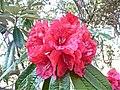 Rhododendron arboreum (8590545223).jpg