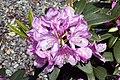 Rhododendron catawbiense Grandiflorum 3zz.jpg