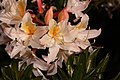 Rhododendron occidentale 4738.JPG