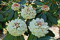 Rhododendron sinogrande - Caerhayes Castle gardens - Cornwall, England - DSC03048.jpg
