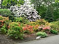 Rhododendrons and Azaleas, Temple Newsam - geograph.org.uk - 180242.jpg