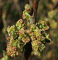 Ribes rubrum 1p.jpg