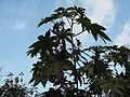 Ricinus communis-yercaud-salem-India.JPG