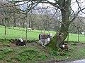 Roadside Herdwicks - geograph.org.uk - 5854.jpg