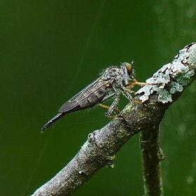 Robber fly (Neoitamus flavofemoratus) (8980234943).jpg